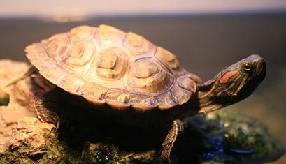 Frequently Asked Questions About Red Eared Slider The Turtle Hub