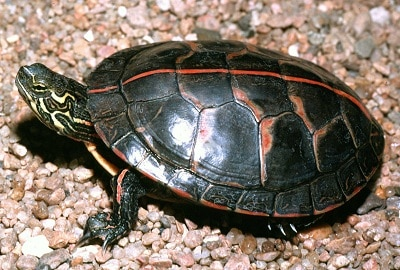 how long can painted turtles stay underwater