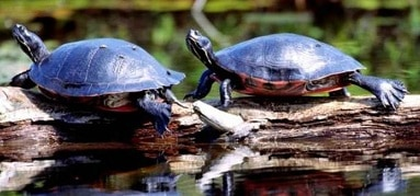 Why do turtles bask with their leg out