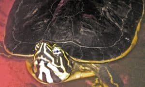cooter turtle