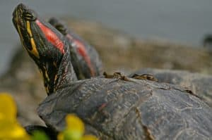 are red eared slider turtles good pets