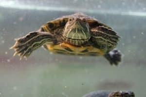are red eared slider turtles smart