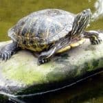 14 Easy Steps to Make an Outdoor Turtle Enclosure Even If You Know Nothing