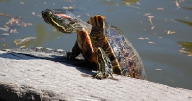 questions about red eared slider