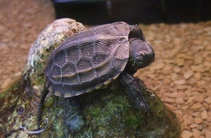 reeves turtle