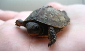 small pet turtles that stay small