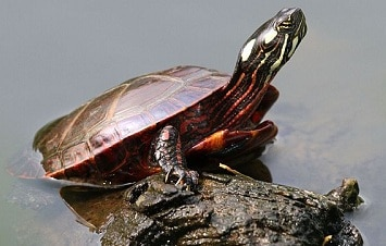 Difference between Male and Female Painted Turtles