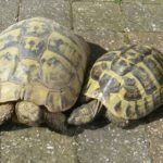 How Can You Tell if a Turtle is Male or Female?