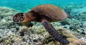 How Long Can Pet Turtles Stay Underwater