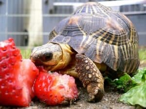 how long can a pet turtle live without food