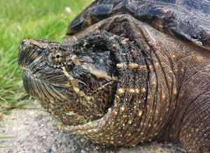 how long can snapping turtles stay underwater