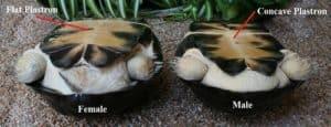 male vs female turtle plastron