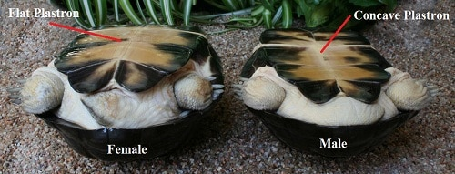 red ear slider turtles sex differentiation in Nanaimo