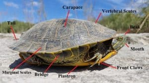 red eared slider body parts