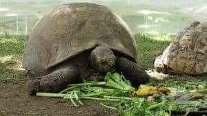 red-eared slider turtle feeding