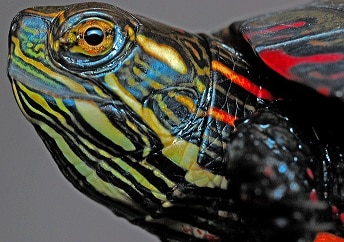How to tell how old a painted turtle is