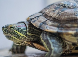 How to tell the age of a red-eared slider turtle