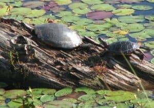 floating turtle dock for ponds