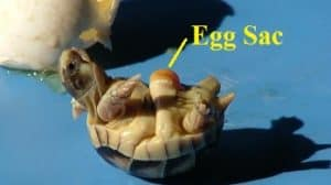 hatching turtle egg sac