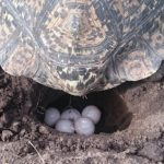 Frequently Asked Questions About Turtle Eggs from The Owners
