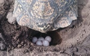 questions about turtle eggs