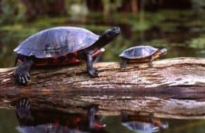 turtle docks for large turtles