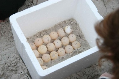turtle egg incubation