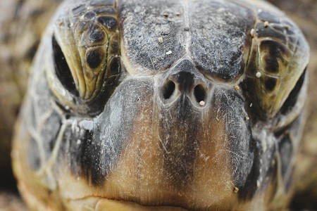 turtle eye infection home remedy