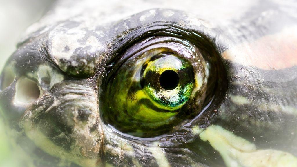 turtle eye diseases