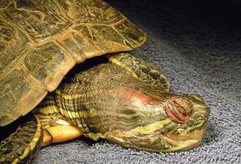 turtle swollen eyes