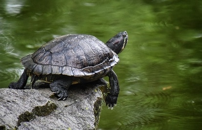 turtle basking too much