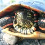 Can A Painted Turtle Live With A Red Eared Slider?