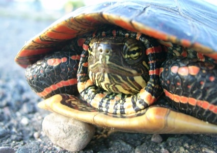 Can A Painted Turtle Live With A Red Eared Slider