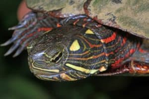 Can Painted Turtles Live With Fishes