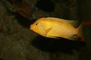 Yellow cichlids
