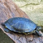 Do Painted Turtles Like To Be Alone?