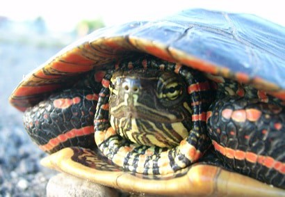 DO PAINTED TURTLE LIKE TO BE HELD?