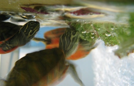 Diet Of A Painted Turtle In Captivity