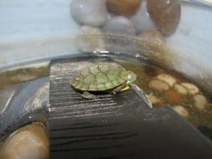 Do Painted Turtles Hibernate In Captivity