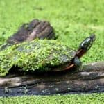 How Long Can A Painted Turtle Stay Out Of Water?