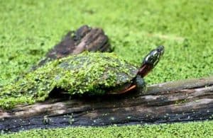 HOW LONG CAN A PAINTED TURTLE STAY OUT OF WATER