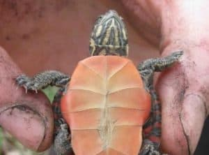 HOW TO BREED PAINTED TURTLES