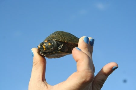 How Long For Painted Turtle Eggs To Hatch