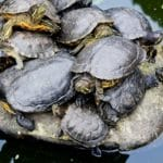 Amaze Yourself With These Interesting Facts about Painted Turtle