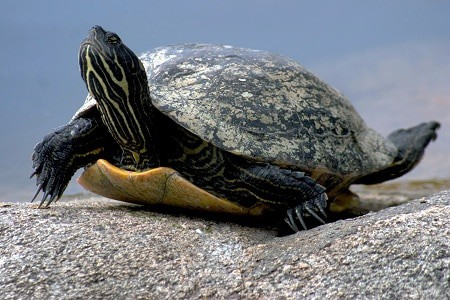 Where do painted turtles live