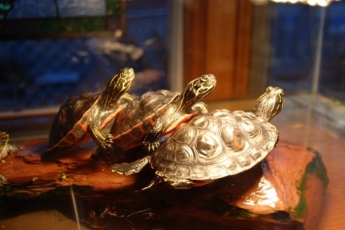 How Long Should A Red Eared Slider Bask