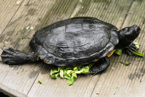 How To Feed Red Eared Slider Vegetables