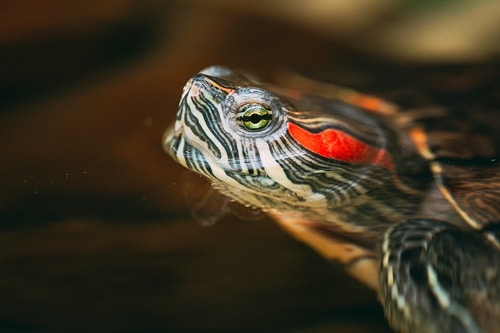 Where To Buy Red Eared Slider
