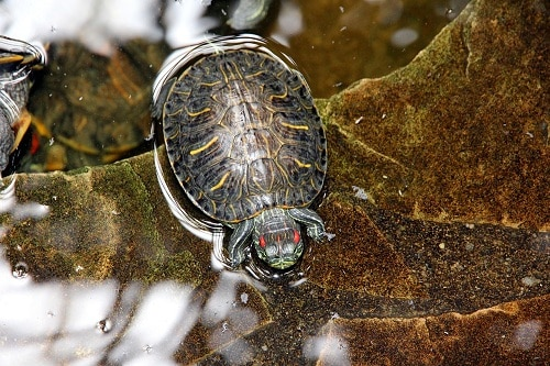 Why Do Red Eared Sliders Eat Their Poop