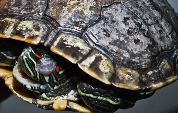How To Treat Shell Rot In Red Eared Slider